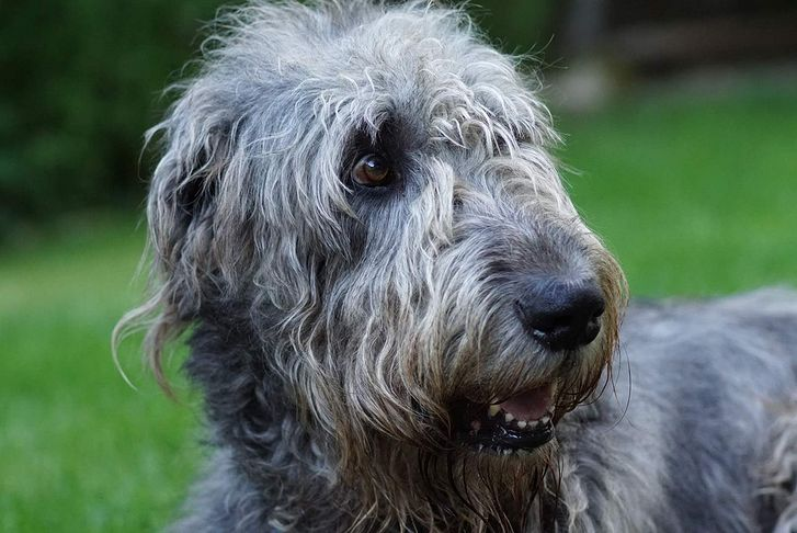 L'Irish wolfhound ou lévrier irlandais