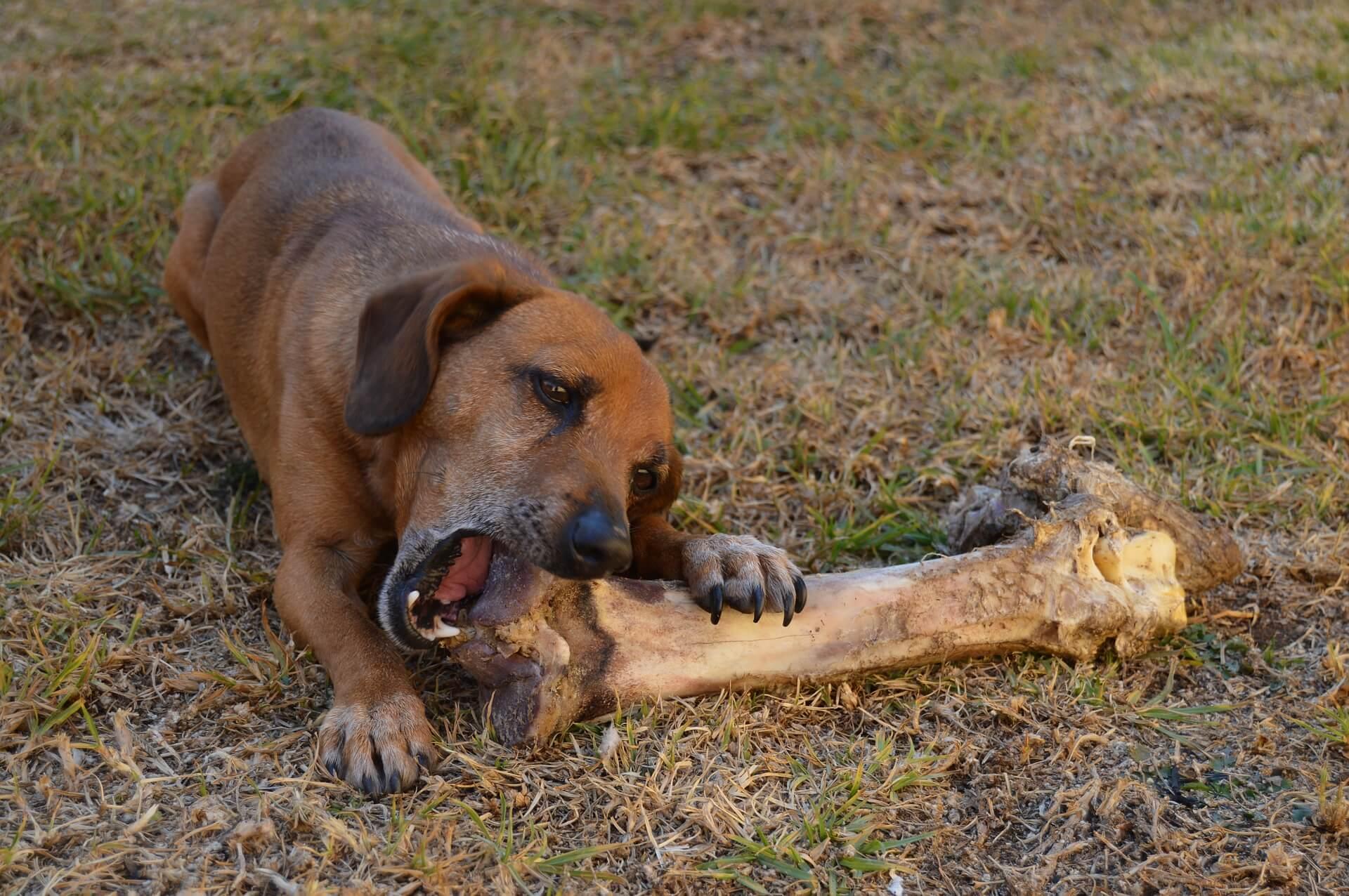 os à mâcher pour chien