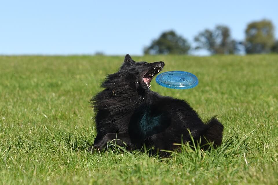 Frisbee pour chien indestructible