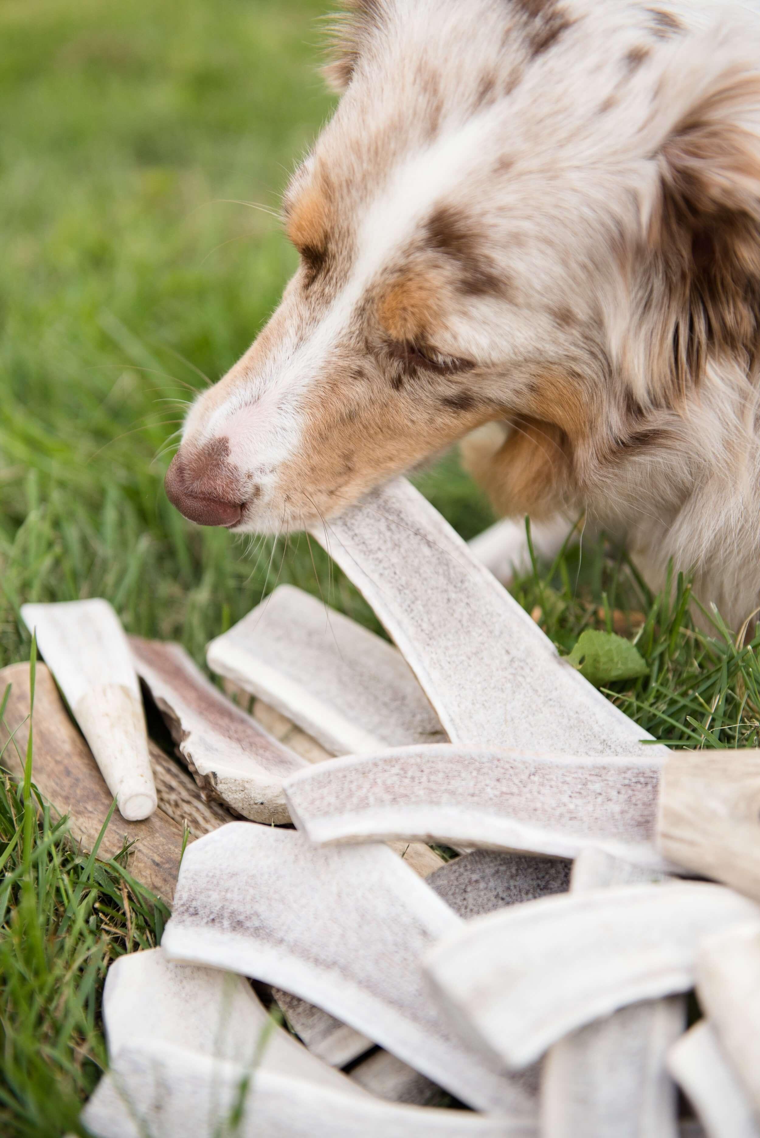 bois de cerf pour chien friandise