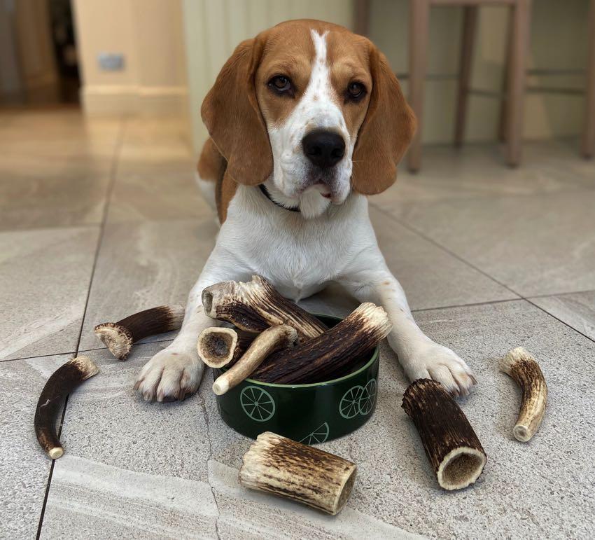 beagle bois de cerf pour chien