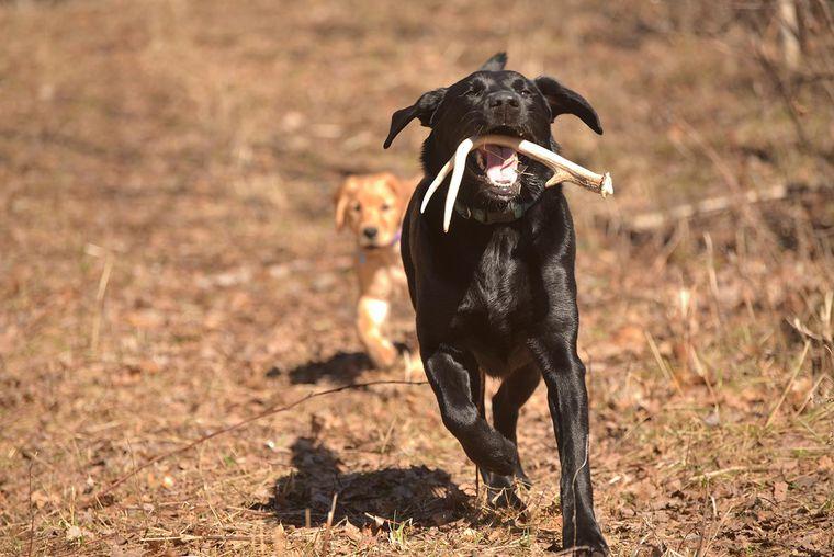 chien dressage bois de cerf