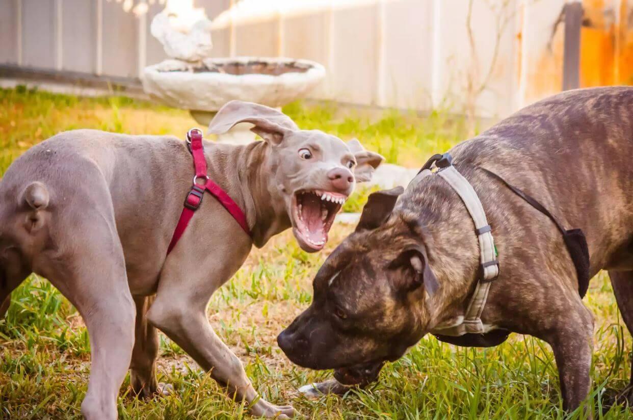 chien agression