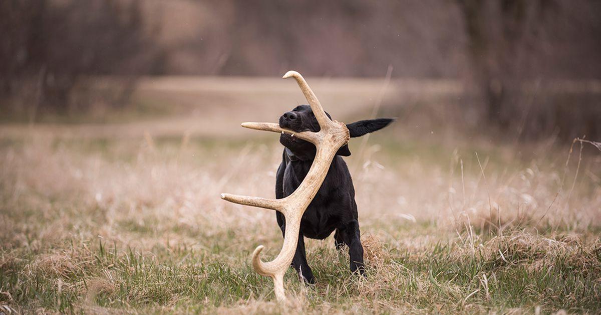 dressage chien bois de cerf