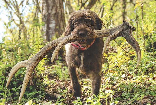 chien de chasse ramure