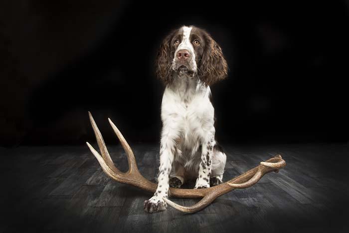 chien de chasse bois de cerf